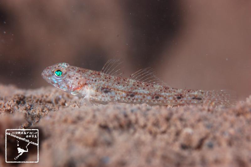 沖縄本島のダイビングで撮影したケショウハゼ幼魚の水中写真