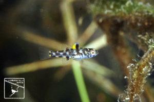 沖縄本島のダイビングで撮影したミツボシゴマハゼの水中写真(1.5cm TL)