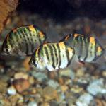 クロホシマンジュウダイ 幼魚