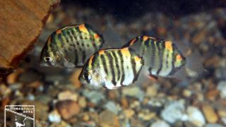 沖縄本島の河川で撮影したクロホシマンジュウダイ(幼魚)の水中写真(5cm TL)