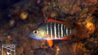 沖縄本島の河川で撮影したゴマフエダイの水中写真(8cm SL)