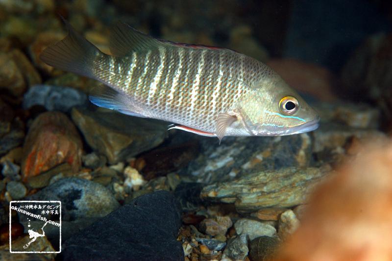 沖縄本島の河川で撮影したゴマフエダイ(成魚)の水中写真(25cm SL)