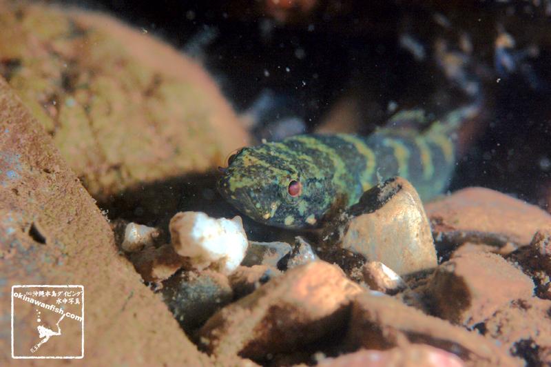 沖縄本島 河川で撮影した チチブモドキ の水中写真 (10cm SL)
