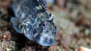 沖縄本島 タイドプール で撮影した ニセカエルウオ 雄 の 水中写真 (6cm SL)