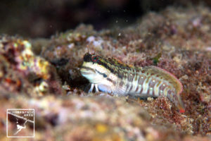 沖縄本島 タイドプール で撮影した ハナカエルウオ の 水中写真 ( 8cm SL )