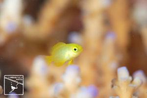 沖縄 ダイビング で撮影した ネッタイスズメダイ 幼魚 の 水中写真 ( 1cm TL )
