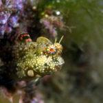 沖縄本島 ダイビング タイドプール で撮影した シマギンポ 水中写真 ( 4cm SL )