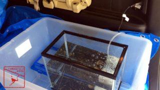 川遊び 魚 エビ 飼育のため生きたまま持ち帰る為の水槽