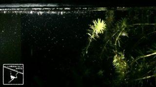 エビ 孵化直後 ゾエア 大量放出 カワエビ 川エビ 川海老 かわえび