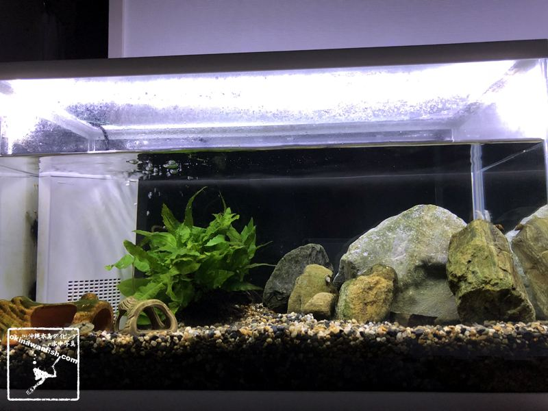 アクアリウム 自宅 水槽 ハゼ ヨシノボリ ろ過バクテリア 濁り 対策 解決 60cm