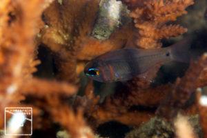 沖縄本島 ダイビング で撮影した クロオビアトヒキテンジクダイ 水中写真 ( 5cm SL )