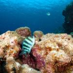 沖縄本島のダイビングで撮影した ロクセンスズメダイ の水中写真 (12cm SL)