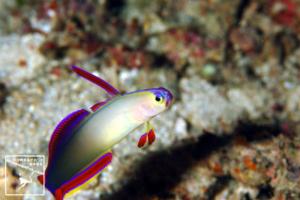 沖縄本島ダイビングで撮影した 水中写真 ( アケボノハゼ ) 9cm SL