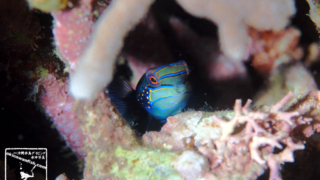 ニシキテグリ 沖縄ダイビング 水中写真 Pterosynchiropus splendidus