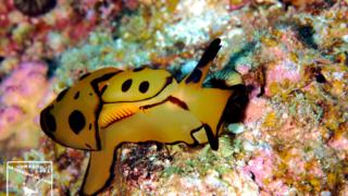 チギレフシエラガイ 水中写真 沖縄ダイビング ウミウシ Nikon 105mm underwaterphotography japan scubadiving