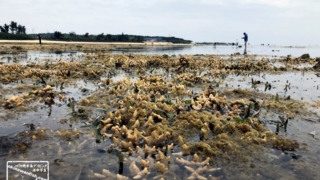 もずく採り サンゴも露出する干潮