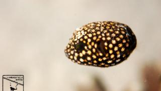 ミゾレフグ 幼魚