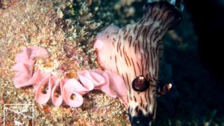 ブッシュドノエルウミウシ Jorunna rubescens 水中写真 沖縄 ダイビング