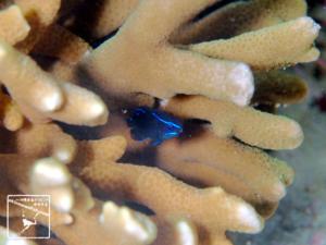 アツクチスズメダイ 幼魚 水中写真 沖縄 ダイビング