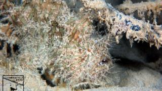 沖縄本島のダイビングで撮影した「ボンボリカエルアンコウ」の水中写真