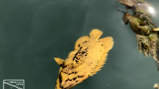 マツダイ 幼魚