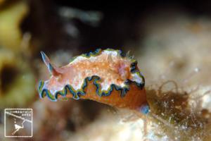 モンジャウミウシ・沖縄本島のダイビングで撮影したモンジャウミウシの水中写真