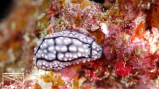 沖縄本島のダイビングで撮影したハイイロイボウミウシの水中写真