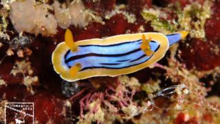 沖縄ダイビングで撮影した「コールマンウミウシ」の水中写真