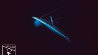 【リュウグウベラギンポ】沖縄ダイビングで撮影した「リュウグウベラギンポ」の水中写真