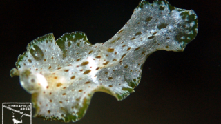Ascidiophilla alba ヒラムシ