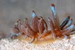 アカクセニアウミウシ