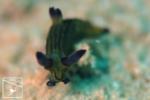 オオクチリュウグウウミウシ