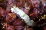ミルクオトメウミウシ